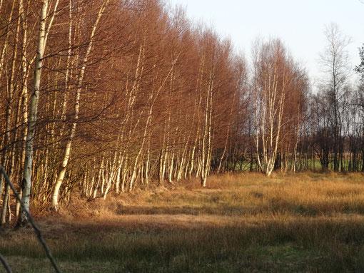 Birken und Gräser entlang des Torfweges von Hollen Heise über Oberheise, Hollenerheide und Hollenerkamp bis ins Große Moor bei Bokel