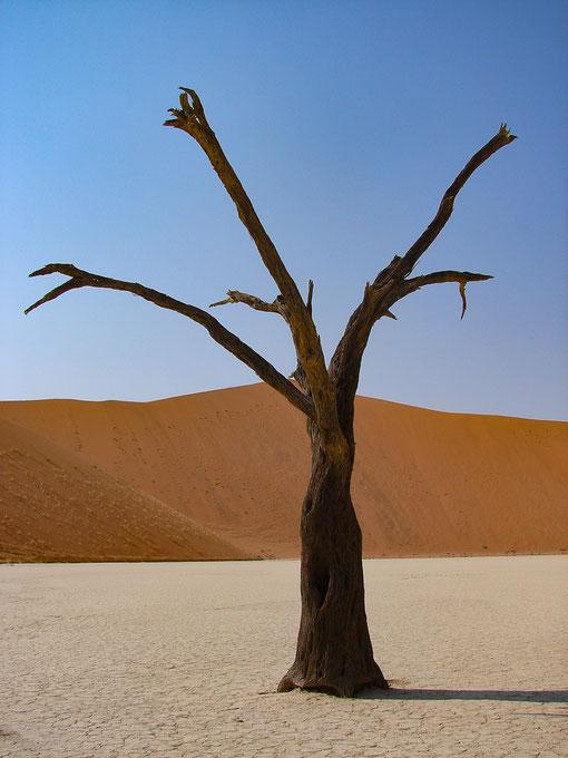 Das Fotomotiv schlechthin im Deadvlei, die vertrockneten Bäume.
