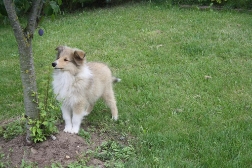 Sir  Chandak 11 Wochen alt !