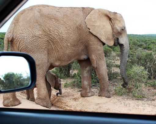 Große Elefanten, ganze Elefantenherden - darunter auch Mütter mit ihren dagegen winzig wirkenden Babys - im Addo Elephant Nationalpark.
