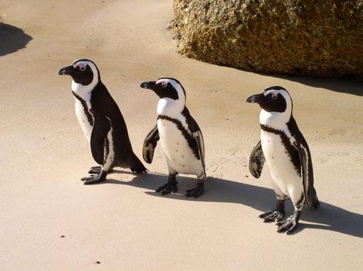 Die Pinguine von Simon´s Town am Boulders Beach.
