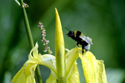 Gelbe Schwertlilie mit Gartenhummel