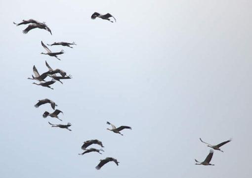 Diese Gruppe Kraniche fliegt wenige Meter am Turm vorbei