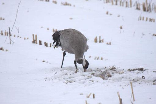 Kraniche in der Winterlandschaft sind nichts ungewöhnliches mehr