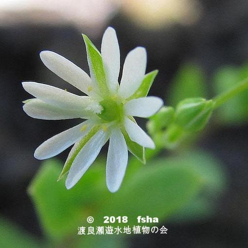 渡良瀬遊水地に生育しているノミノフスマ(花)の画像