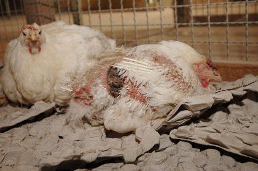 Aufnahme Wiesenhof Farm Twistringen / Quelle: PETA Deutschland