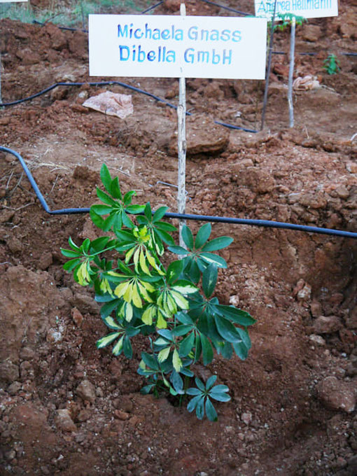 Dibella employees also plant their Dibella tree