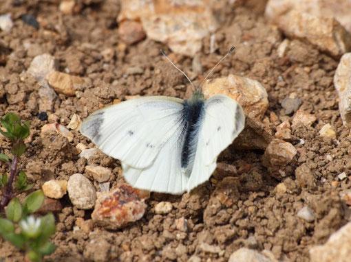 3月14日の昼休みに散歩していると、麦畑にモンシロチョウが飛んでいます。ゆっくり近づくと、地面に止まりました。(豊橋市飯村町)