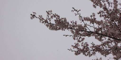 花曇りの空の下、満開を過ぎたソメイヨシノには、新しい葉が出始めています。