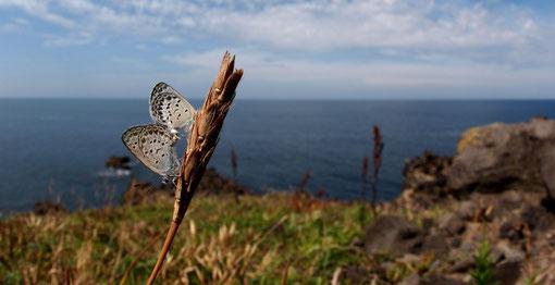 海をバックにシルビアシジミの交尾です2011.09.11石川県志賀町E-5+EC-20+ZD8mmF11(上下カット)