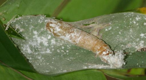 巻いているバナナの葉の中から大きな蛹が出てきました、たぶんバナナセセリの蛹と思われます。E-5+シグマ150mmマクロ(トリミング)