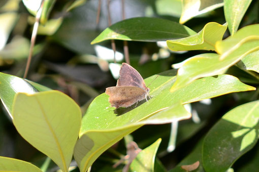 開翅前後の飛び方やこんなポーズを見るとテリ張りなんでしょうか?2012.01.02マテバシイの葉上の♂