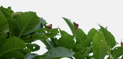 トネリコの樹冠に止まっている♂に向かってスクランブルをかける♂2頭が何とか写りました