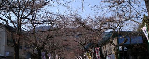 参道の有名なソメイヨシノですが、見たところ、一輪も咲いていません。さくら祭りは盛大に行われていました。