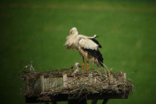 Ein Küken im Nest mit einem Altvogel - Foto: Björn Behrendt