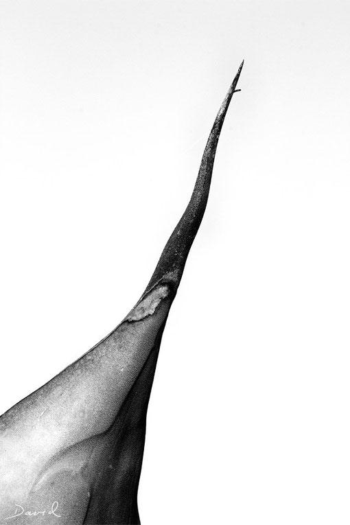 Agave Schwarz-Weiß