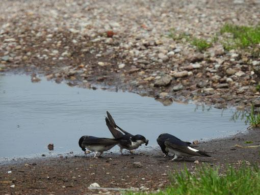Mehlschwalben sammeln Material für ihre Nester. Foto: S. Löw