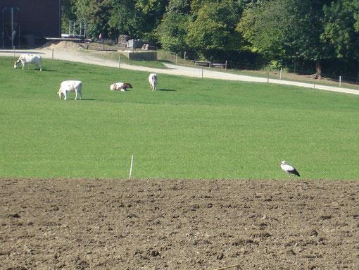 Ein Weissstorch machte auf dem frisch gepflügten Acker beim Wolfig Rast. (30. Sept. 2009)