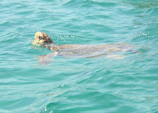 Turtle neben dem Boot.