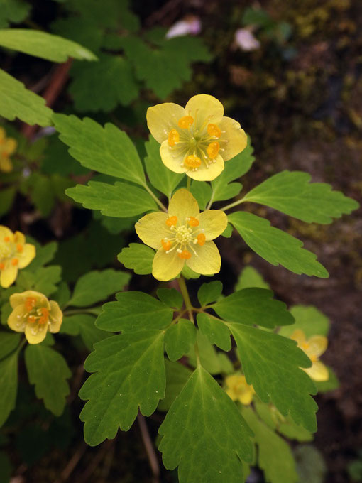 花弁に見える黄色い部分は萼片。花弁は小さなオレンジ色の部分です