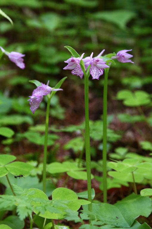 カモメラン  近くの沢には、他にも希少な植物の花が咲くそうです