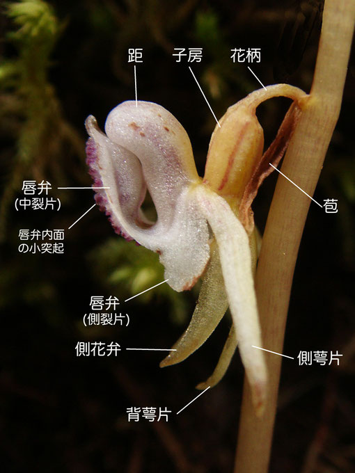 トラキチランの花の構造