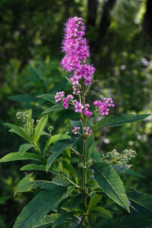 ホザキシモツケ 木陰には見頃の花も残っていた