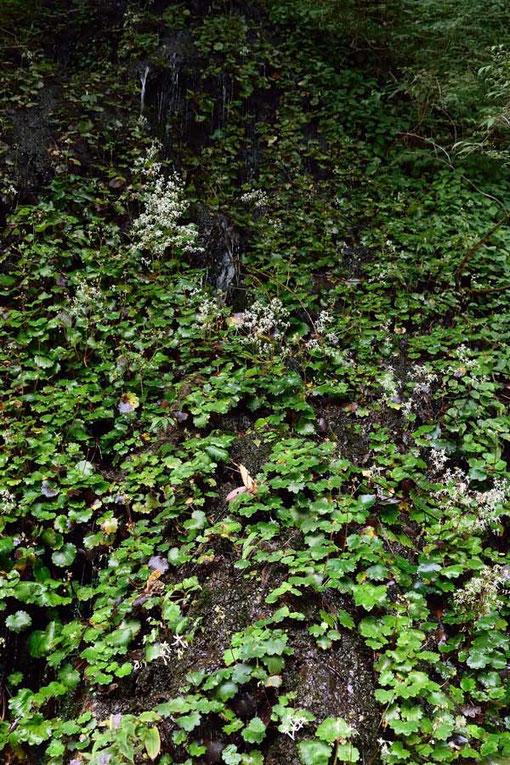 ダイモンジソウの数はすごいがまだ花茎を上げていない株も多い