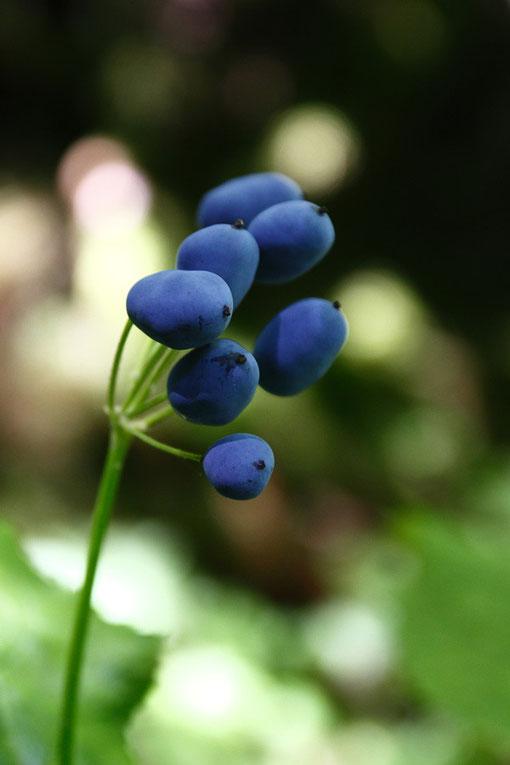 サンカヨウ (山荷葉) メギ科 サンカヨウ属  おいしそうな色の果実