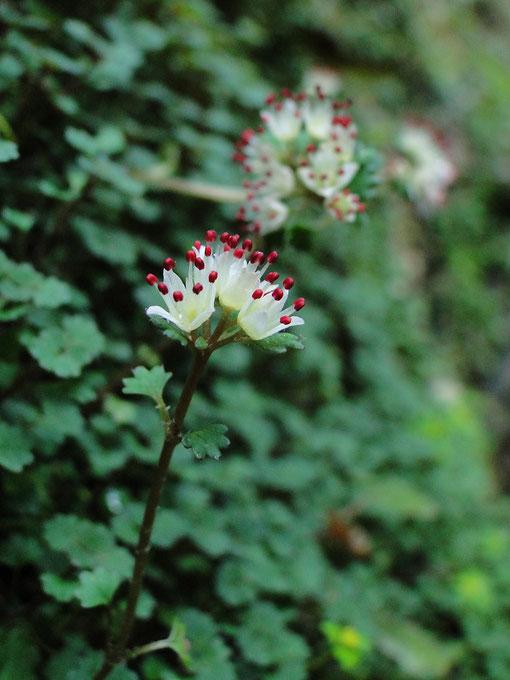 シロバナネコノメソウ (白花猫の目草) ユキノシタ科 ネコノメソウ属