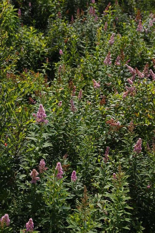 ホザキシモツケ (穂咲下野) バラ科 シモツケ属  たくさん咲いていたがもう終盤