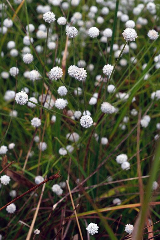 シラタマホシクサ (白玉星草) ホシクサ科 ホシクサ属 東海丘陵要素植物の一種