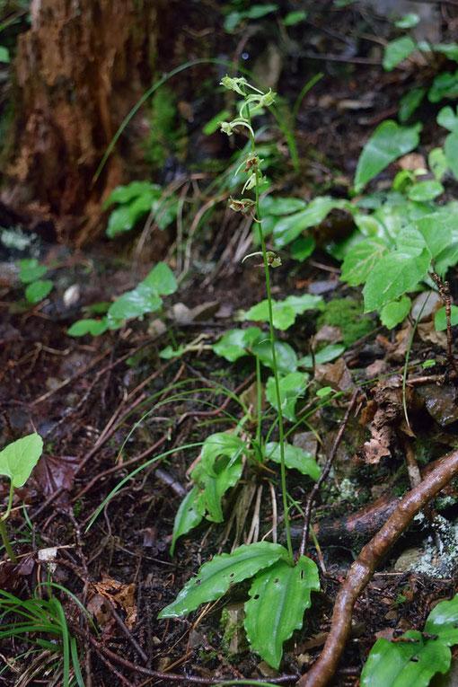 ジンバイソウ (神拝草) ラン科 ツレサギソウ属  この株は草丈30cmほど