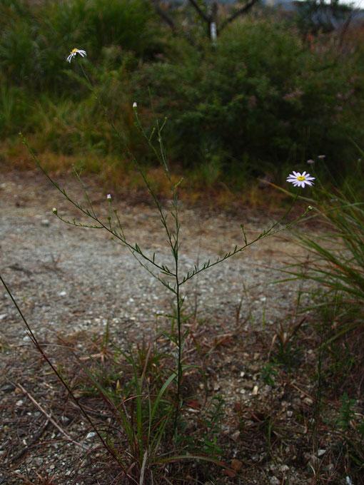 ヤナギノギク (柳野菊) キク科 シオン属 ヤマジノギクの変種 蛇紋岩地に生える