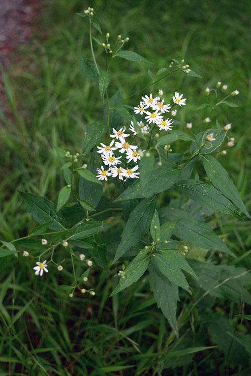 シロヨメナ (白嫁菜) キク科 シオン属  非常に大きな群生があったが花はこれから