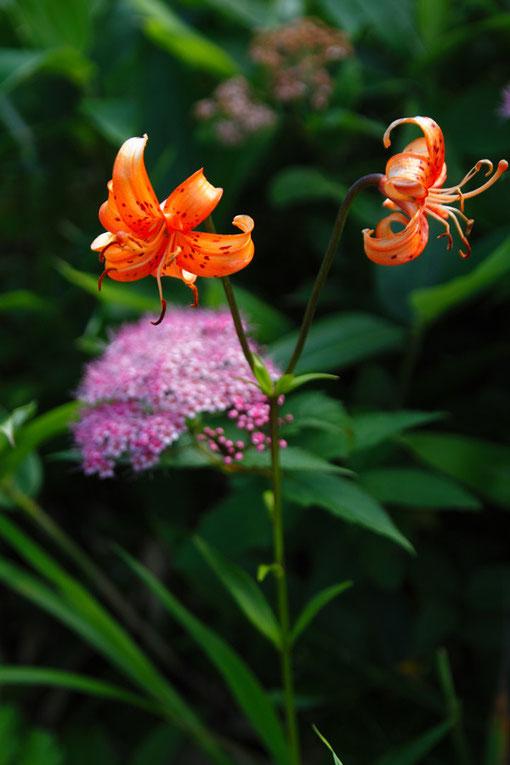 コオニユリ (小鬼百合) ユリ科 ユリ属  後ろのピンク色はシモツケ