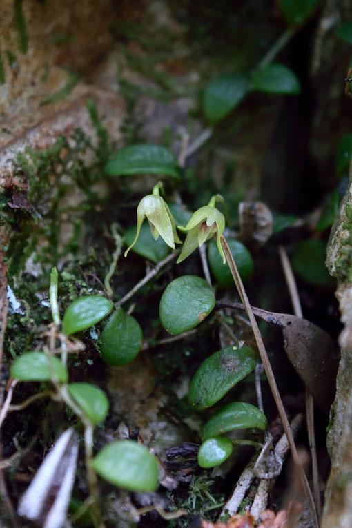 マメヅタランの葉は常緑、多肉質で、長さ6〜13mm、幅5〜10mm。