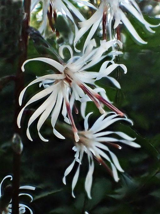 テイショウソウ一つの小花の花冠は5裂するので、一つの頭花には15個の裂片がある