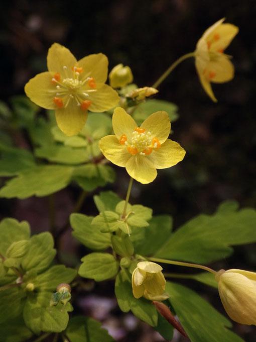 草丈は30cmほどで、シロカネソウ属の中では草体も花も大型
