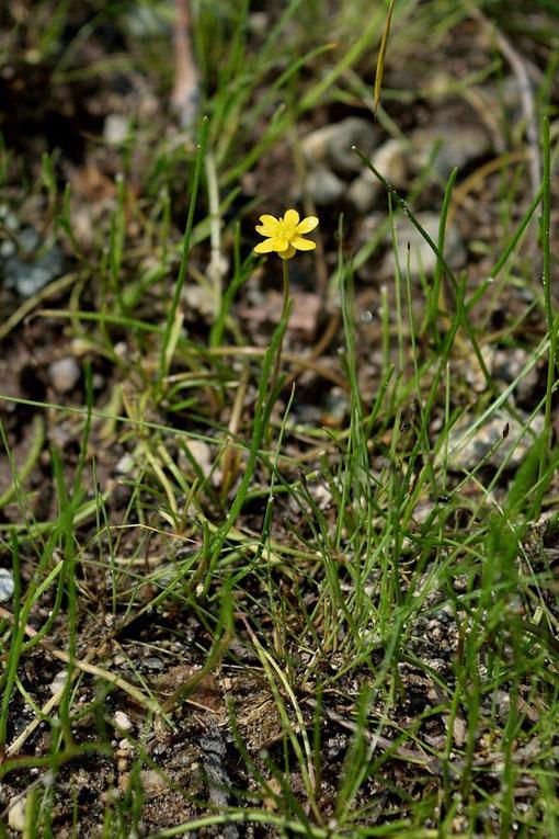 イトキンポウゲは名の通り茎も葉も糸のように細い。 葉の太さは1mmほど。