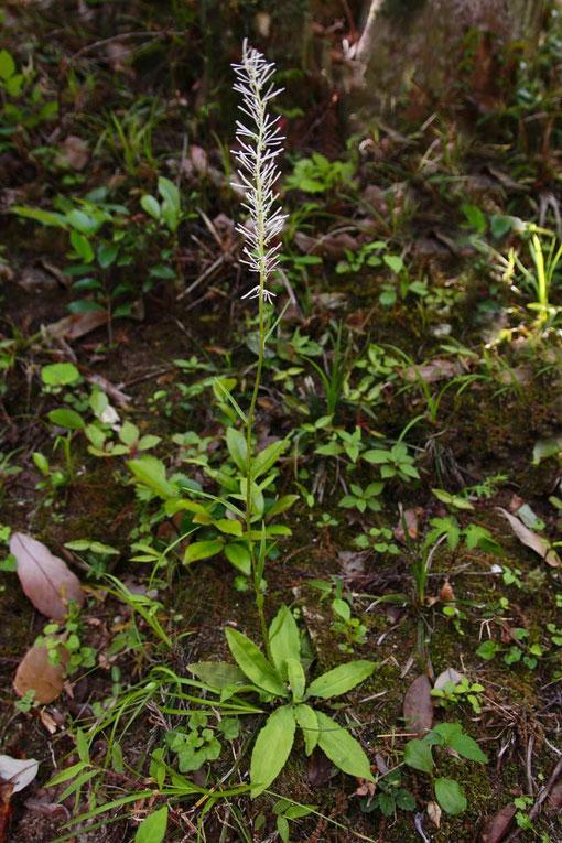 ミカワシライトソウとされている植物  2015.05.30撮影 愛知県
