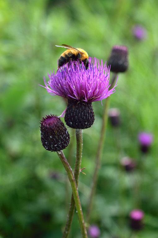 ノアザミ (野薊) キク科 アザミ属 下界では春に咲くこの花も野反湖では8月が見頃