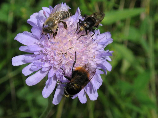 Ackerwitwenblume mit Insekten