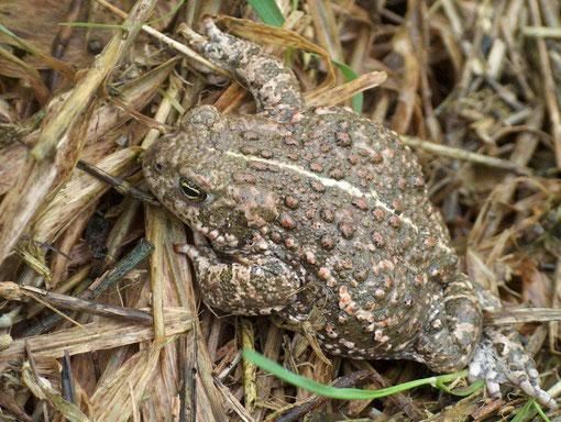 Kreuzkröte