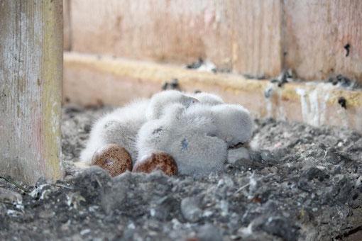 Ausgeschlüfte Turmfalken mit Eiern