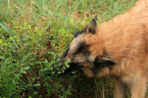 Die immer mit ihrem Hundefutter: Heidelbeeren, die bringen es doch! (Eliss von P. Bauer)