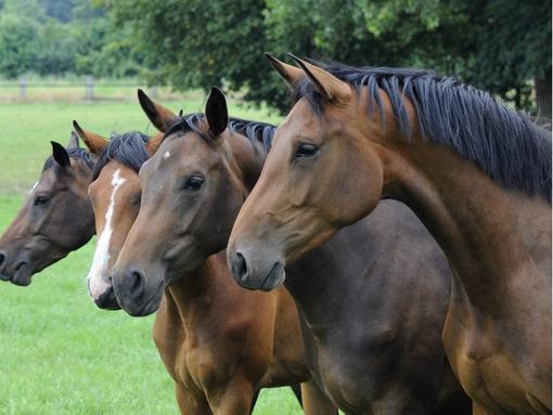 Pferdeaufzucht Niederrhein - Professionelle Pferdeaufzucht und Pensionspferdehaltung am Niederrhein!