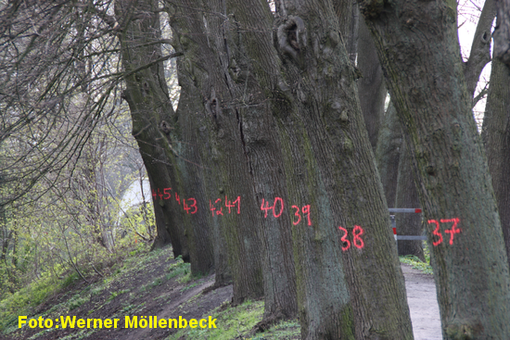Diese Bäume am Prozessionsweg werden Opfer des Kanalausbaus