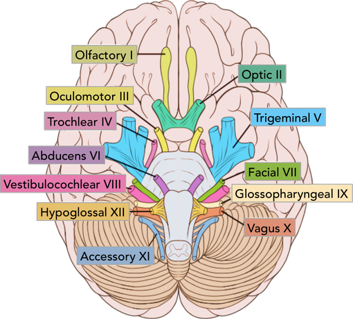 overview of cranial nerves