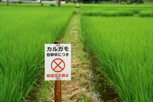 写真見たらわかりますよね?この畦道の中程だけ草を残しておきました。